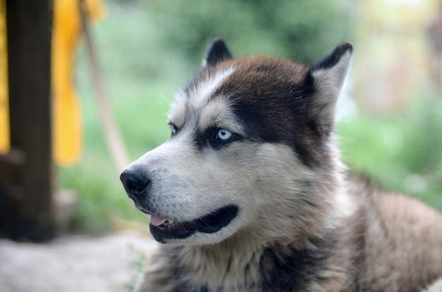 青い目を持つ北極マラミュート犬 Premium写真
