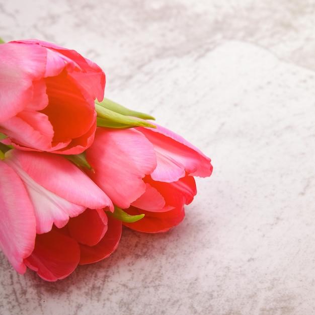 チューリップは明るい灰色の背景のクローズアップで明るく、新鮮で、ピンクです。 Premium写真