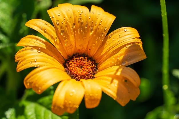 緑の背景に水滴と晴れた黄色の花ドロニクムです。 Premium写真