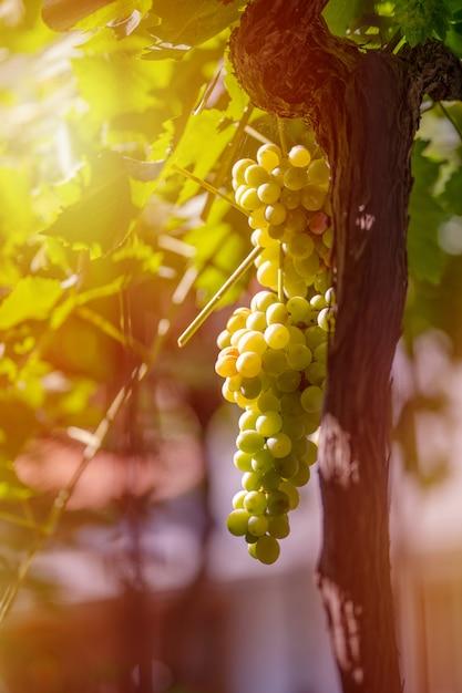緑と青ブドウの収穫。畑のブドウ畑はワイン用のブドウを熟成 Premium写真