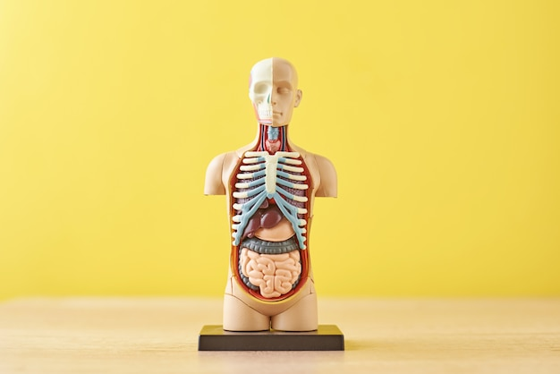 Анатомическая модель человеческого тела с внутренними органами на желтом фоне. анатомия тела манекен Premium Фотографии