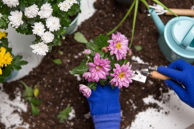 Фотографии с рук человека в синих перчатках с пересадкой хризантемы Premium Фотографии