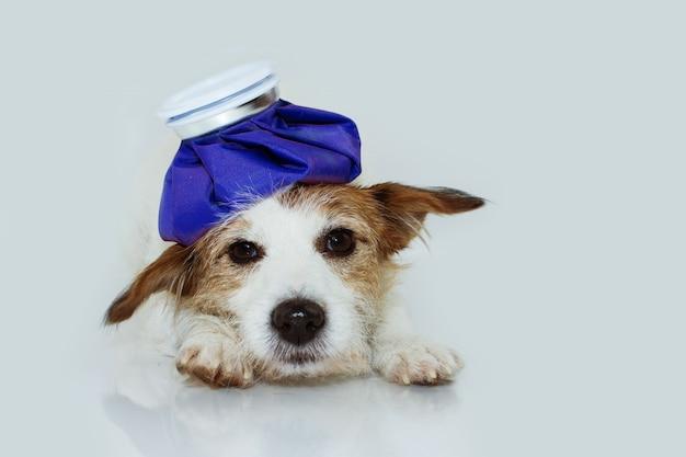 Большой над сад джек рассел собака, лежащая с ледяной сумкой Premium Фотографии
