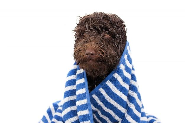 シャワーまたは入浴後、濡れた子犬犬がストライプの青いタオルで包まれた。 Premium写真