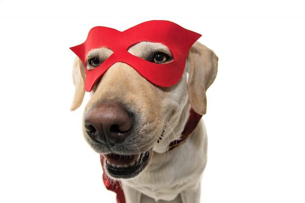犬ヒーローコスチューム。赤いラブラーとクローズアップで赤いラブラーのクローズアップ。白い背景に対して隔離されたショット。 Premium写真