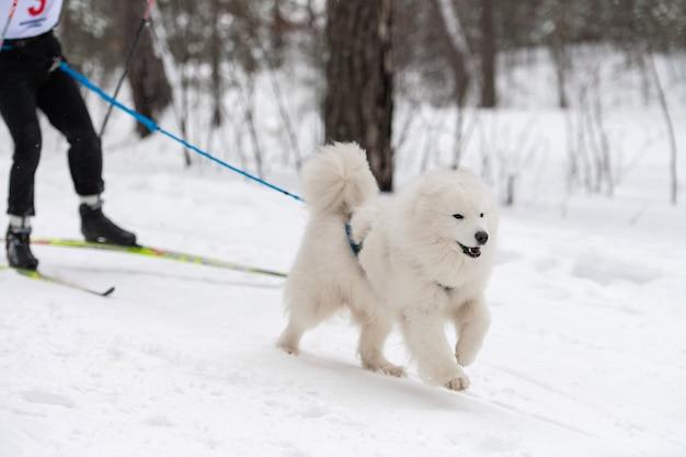 Самоедская собачка в упряжке бегает и дергает человека Premium Фотографии