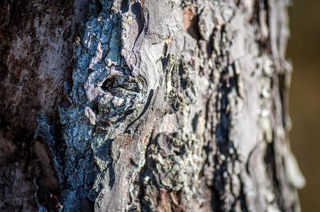 木の樹皮。松の粗く深い溝のある灰色がかった茶色の樹皮。閉じる Premium写真