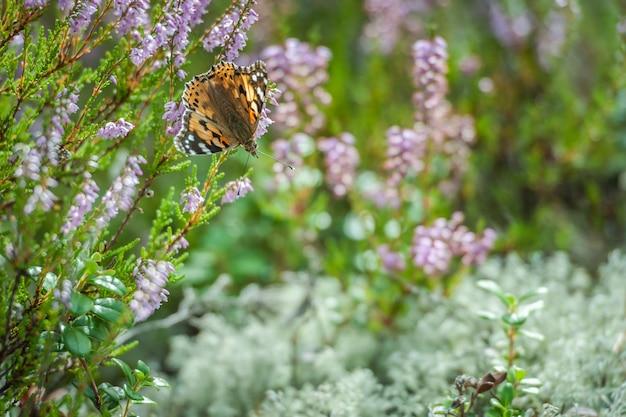 ピンクの一般的なヘザーの美しいオレンジ色の蝶 Premium写真