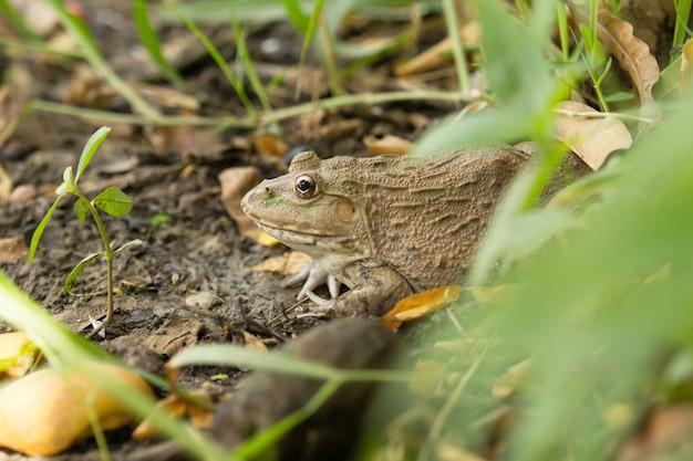 カエルは森に住んでいます。 Premium写真