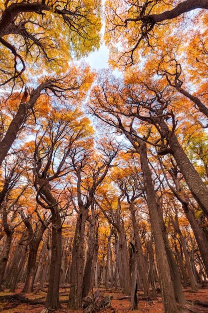 Золотой лес в патагонии Premium Фотографии