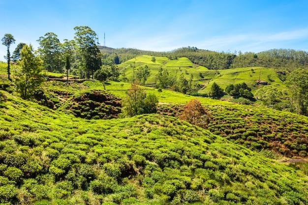 Чайная плантация нувара элия Premium Фотографии