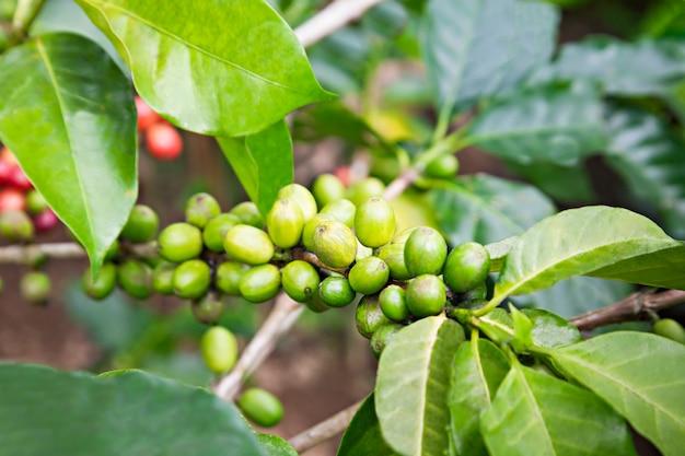 グリーンコーヒーベリー Premium写真