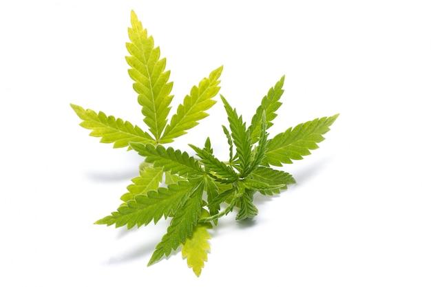 緑色の大麻の小枝、分離、違法薬物 Premium写真