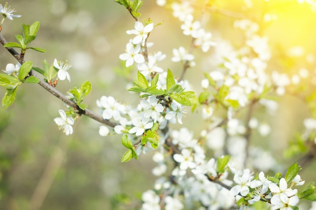 Цветущие веточки весной, с солнечным светом, весенний фон Premium Фотографии