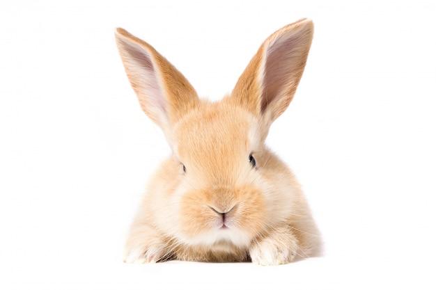 赤いふわふわウサギがサインを見ています。白い背景で隔離イースターのウサギ Premium写真