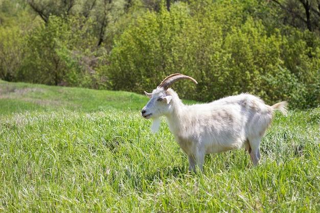 緑の牧草地に白いヤギ Premium写真
