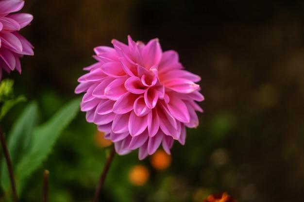 自然の背景に美しい大きなダリアピンクのクローズアップ Premium写真
