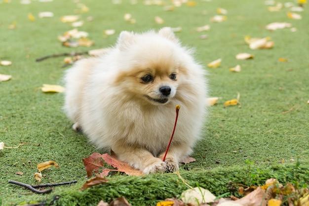 草の上に横たわる小さな犬 Premium写真