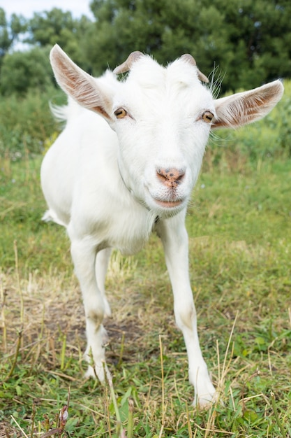 草の上のヤギ Premium写真