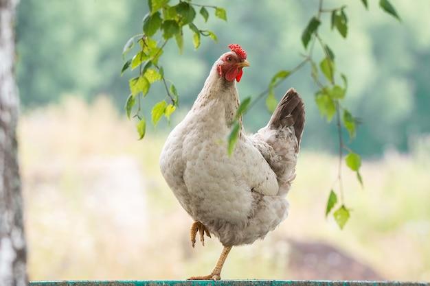 Цыпленок на заборе Premium Фотографии