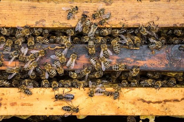 ミツバチの働き蜂 Premium写真