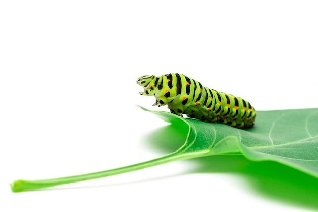 アゲハ幼虫の白い背景 Premium写真