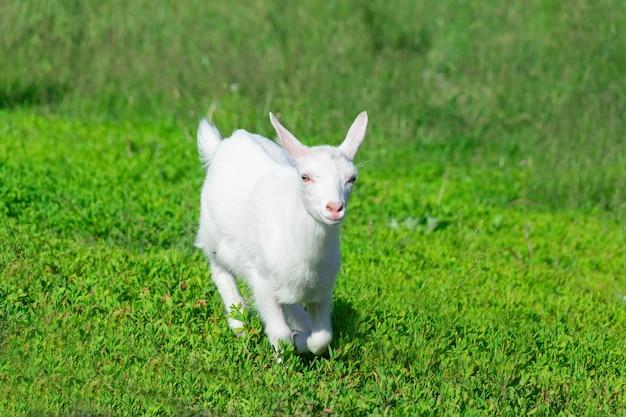 小麦の分野でヤギ Premium写真