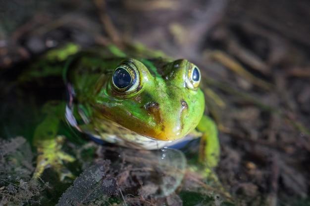 池のカエル Premium写真