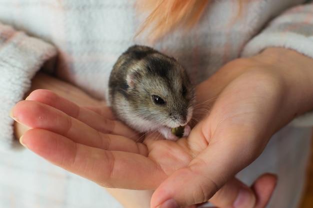飼い主の手に食べるかわいいハムスターペット。 Premium写真
