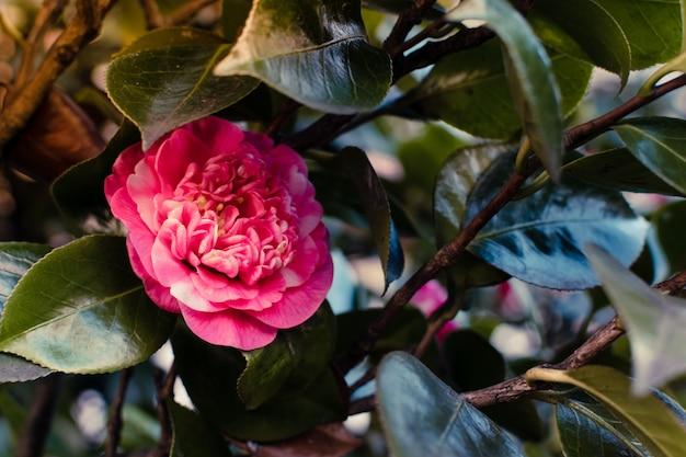 春に咲く椿。 Premium写真