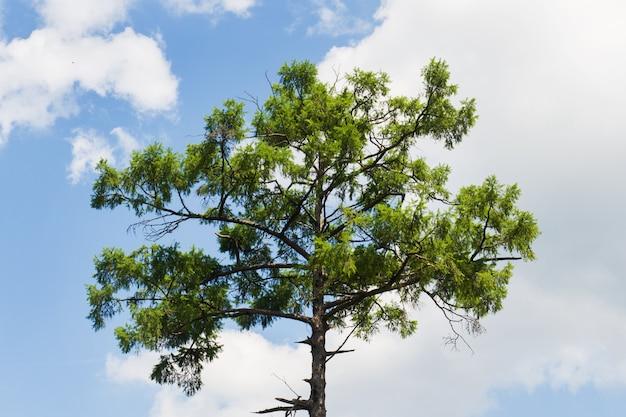 青い空を背景に巨大な松の木の冠。晴れた青い空を背景に松のてっぺん。 Premium写真