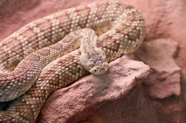 石に巻きついた茶色のヘビ Premium写真