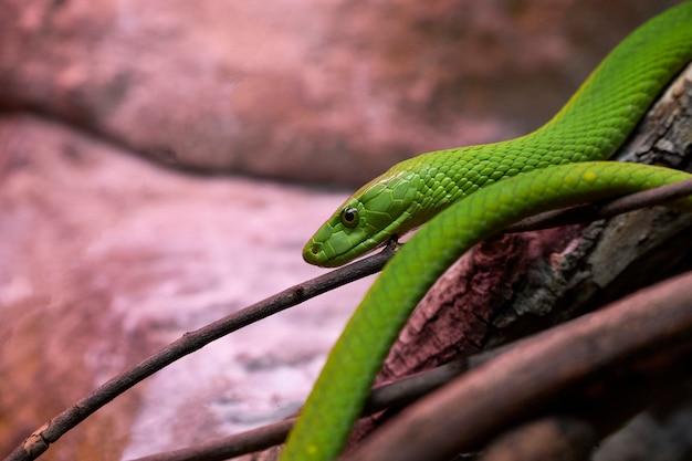 トランク上の危険な緑マンバヘビのビュー Premium写真