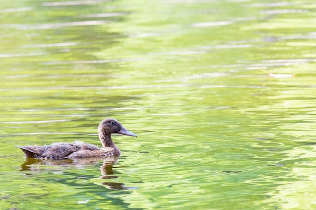 鴨の水泳 Premium写真