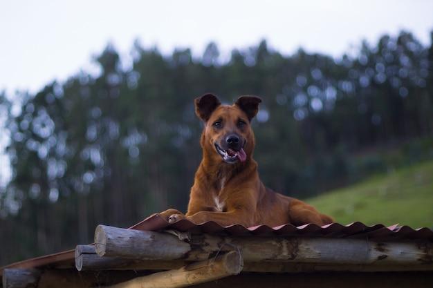 Собака отдыхает на крыше фермы Premium Фотографии