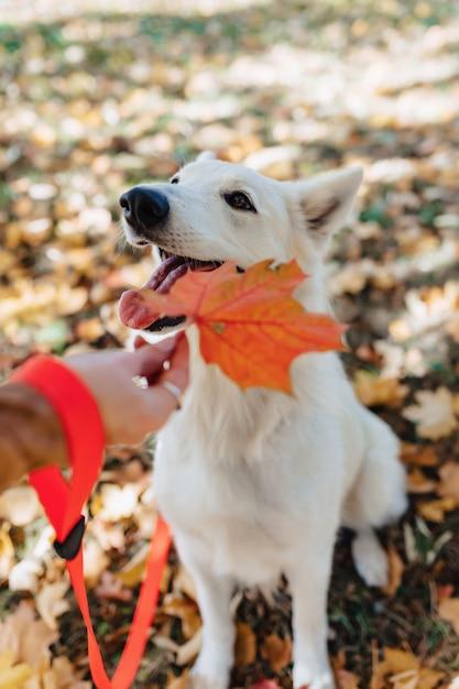 ホワイトスイスシェパードは秋の日当たりの良い公園で楽しんでいます。 Premium写真