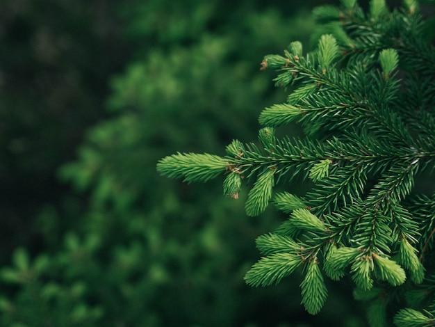 クリスマスツリーの枝の背景 Premium写真