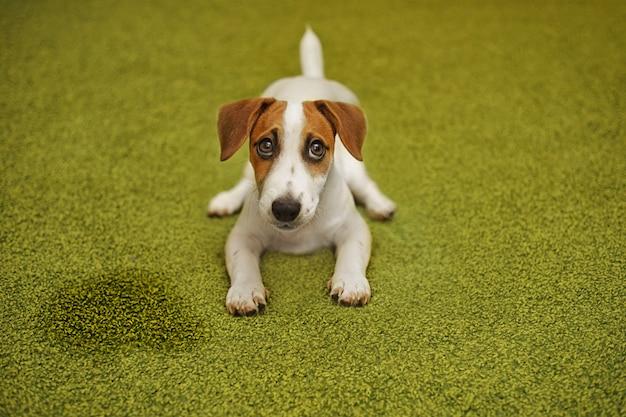 カーペットの上に横たわる子犬ジャックラッセルテリア Premium写真
