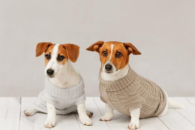 ニットブラウスでかわいい犬の肖像画 Premium写真