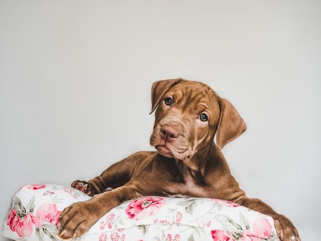 Очаровательный щенок питбуля, лежащий на подушке Premium Фотографии