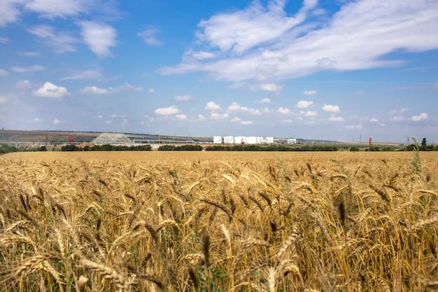 黄色の穀物は圃場で成長する収穫の準備ができて Premium写真