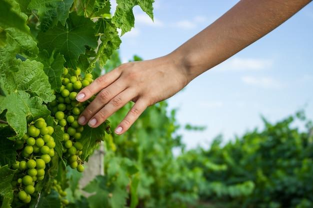 Виноградные лозы в руке с теплым солнечным светом. фермер осматривает выращивание винограда Premium Фотографии