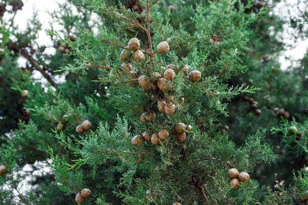 多くのコーンと大きなヒノキの木の緑の葉の背景 Premium写真