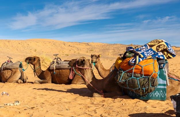 砂漠の負荷を持つラクダ Premium写真