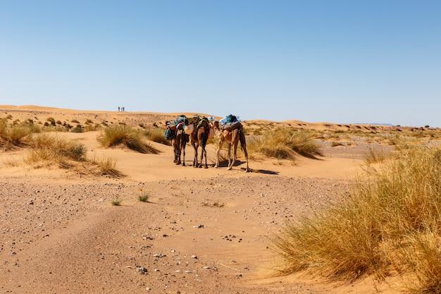 サハラ砂漠、モロッコの砂丘のラクダのキャラバン Premium写真