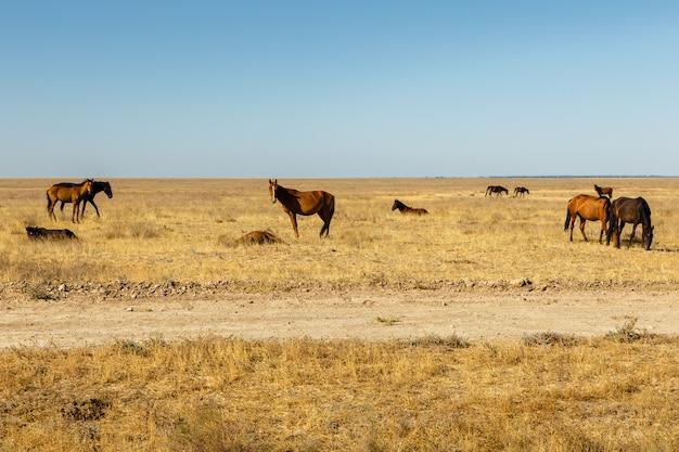 カザフスタンの草原の馬の群れ、馬は牧草地で乾いた草を食べる Premium写真