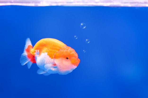 泡と水中の背景に金色の魚。補色です。 Premium写真