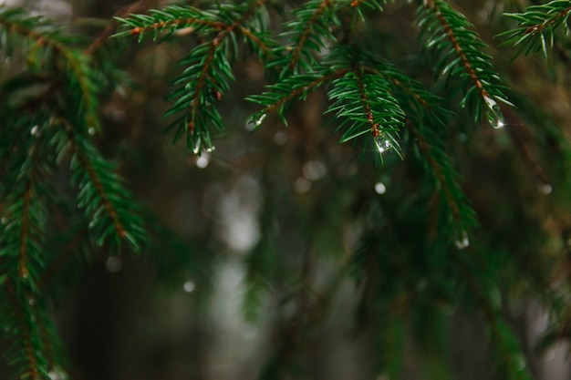 雪解け時の森の針葉樹の枝に雨滴。暗い春の背景とテキストのための場所。光線 Premium写真