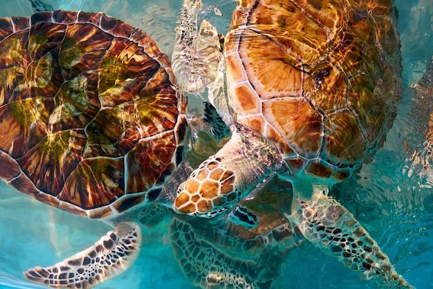 カリブ海の水中のカメの写真量 Premium写真
