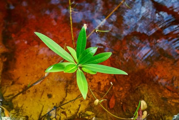 メキシコのリビエラマヤのマングローブの葉 Premium写真